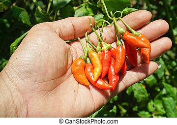 fresh red chilli on farmer hand