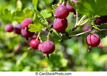 Fresh red gooseberry berries in the garden.