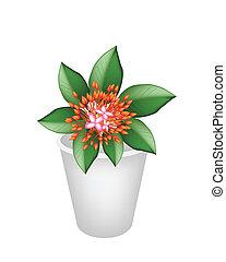 Fresh Red Ixora Flowers in Flower Pot