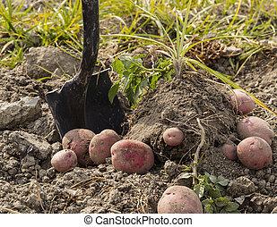 Fresh Red Potatoes on Ground