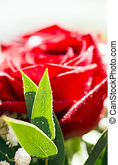 Fresh red rose flower with dew drop