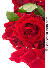fresh red rose with petals border