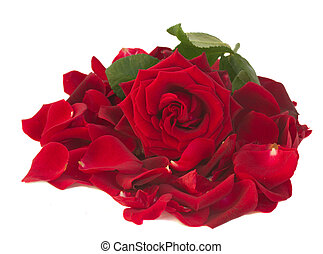 fresh red rose with petals
