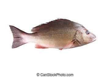 Fresh red Snapper fish or Lutjanus campechanusfish isolated ...