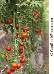 fresh red tomato on greenhouse, close up