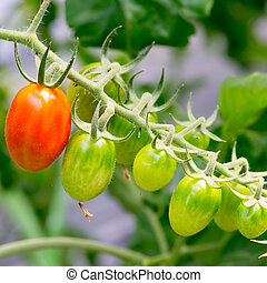 fresh red tomatoes still on the plant