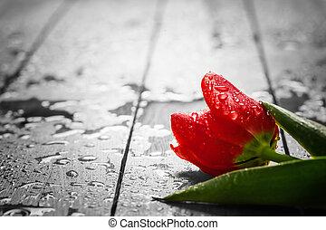 Fresh red tulip flower on wood. Wet, morning spring dew.