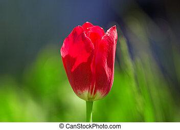 Fresh red tulip