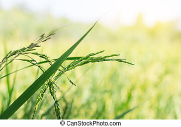 Fresh rice field on leaves natural background.