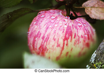 fresh ripe apples on tree close up photo with rain drops