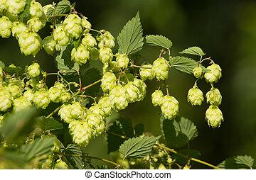 Fresh ripe hop