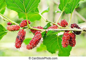 Fresh ripe mulberry berries.