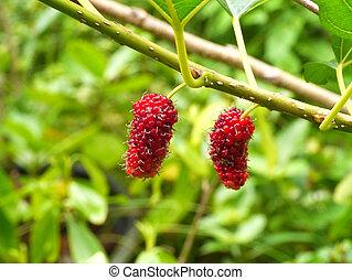 Fresh ripe mulberry berries on tree