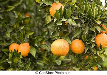 Fresh ripe oranges on a branch