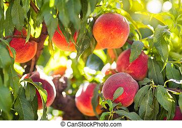 Fresh ripe peach on tree in summer orchard - Ripe tasty ...