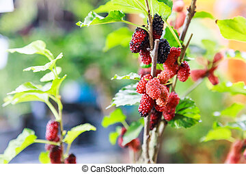 fresh ripe red and dark purple sweet mulberry fruit from natural tree background. Mulberries health benefits are to improve digestion, lower cholesterol, lose weight, prevent cancer, slow down aging