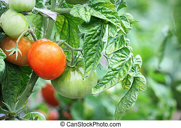 Fresh ripe red tomatoes plant growth in garden ready to harvest