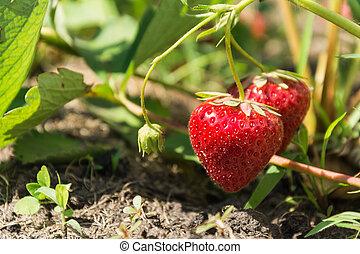 Fresh ripe strawberries on a branch