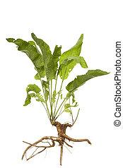 horseradish - Fresh root horseradish and leaf on white ...