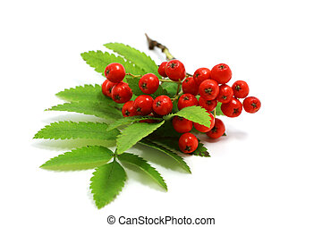 rowan berries - fresh rowan berries on white background
