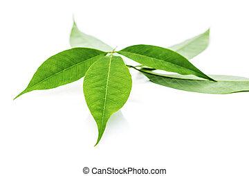 Fresh rubber tree leaves