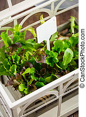Fresh salad in greenhouse