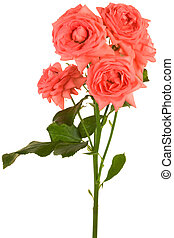 Fresh scarlet roses on a white background