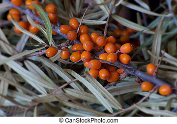 sea buckthorn branch with leaves