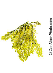 Fresh seaweed from the andaman sea - Seaweed is a loose...