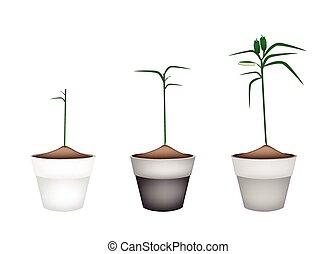 Fresh Sesame Plant in Ceramic Flower Pots