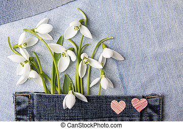 Fresh snowdrops in blue jeans pocket