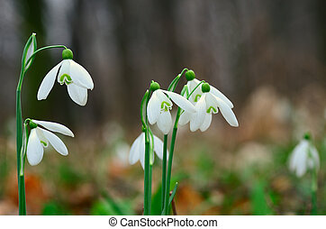 fresh snowdrops in the forest