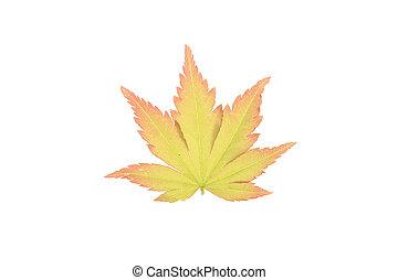 Fresh Spring acer leaf isolated on white