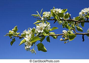 fresh spring apple tree flowers against blue sky