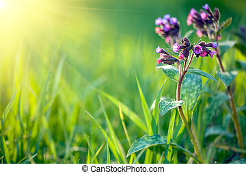 medicine herbal (pulmonaria longiflora) in fresh spring meadow