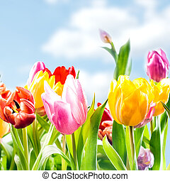 Fresh spring background of vibrant tulips