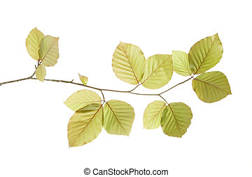 Spring birch tree leaves