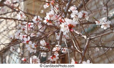 Fresh spring branches of apple tree covered with flowers, natural floral seasonal easter background. Apple tree blossom