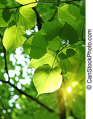 fresh spring foliage of linden tree glowing in sunlight