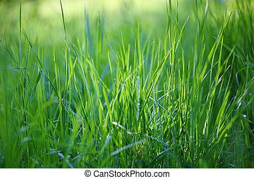 fresh spring grass in sunlight