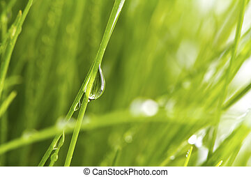 Fresh spring green grass with dew isolated on white background.