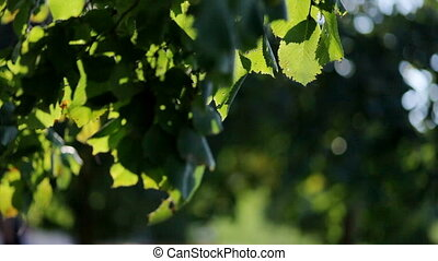 Fresh spring green  leaves in sunlight