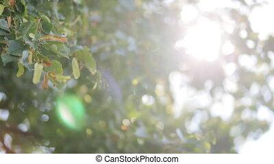 Fresh spring green  leaves in sunlight