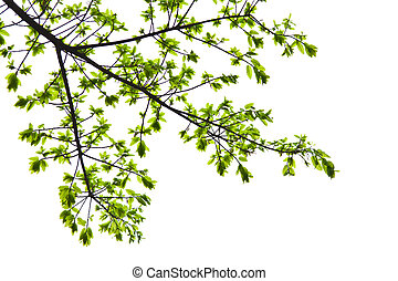 Fresh spring leaves isolated on white background