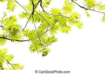 Fresh, Spring leaves of mountain ash tree on white