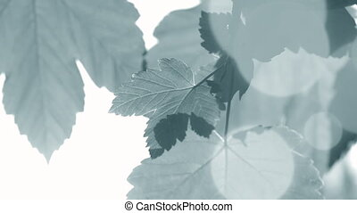 Fresh spring leaves with sun backlit closeup. Green vine...