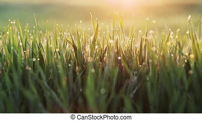 Fresh spring morning grass with dew