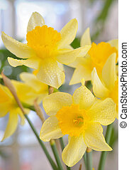 Fresh spring narcissus flowers