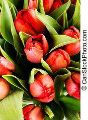 Fresh spring tulip flowers