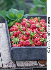 Fresh strawberries in basket. Freshly picked strawberry in wooden box